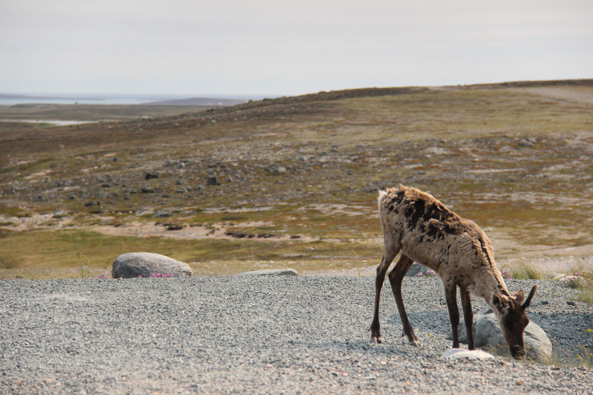 Iqalugaarjuup Nunanga – Caribou – Lesli Rynyk